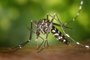 A rovart a tigrishez hasonló csíkos megjelenése miatt hívják tigrisszúnyognak - Fotó: Pixabay.com