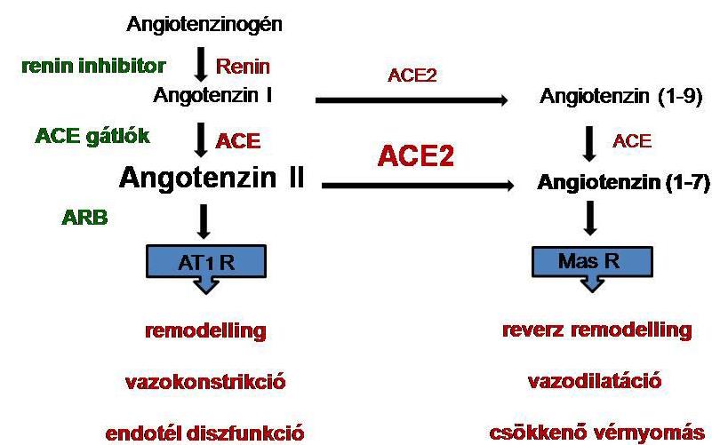 Magas vérnyomás ellen: az Angiotenzin II-receptor blokkolók működése